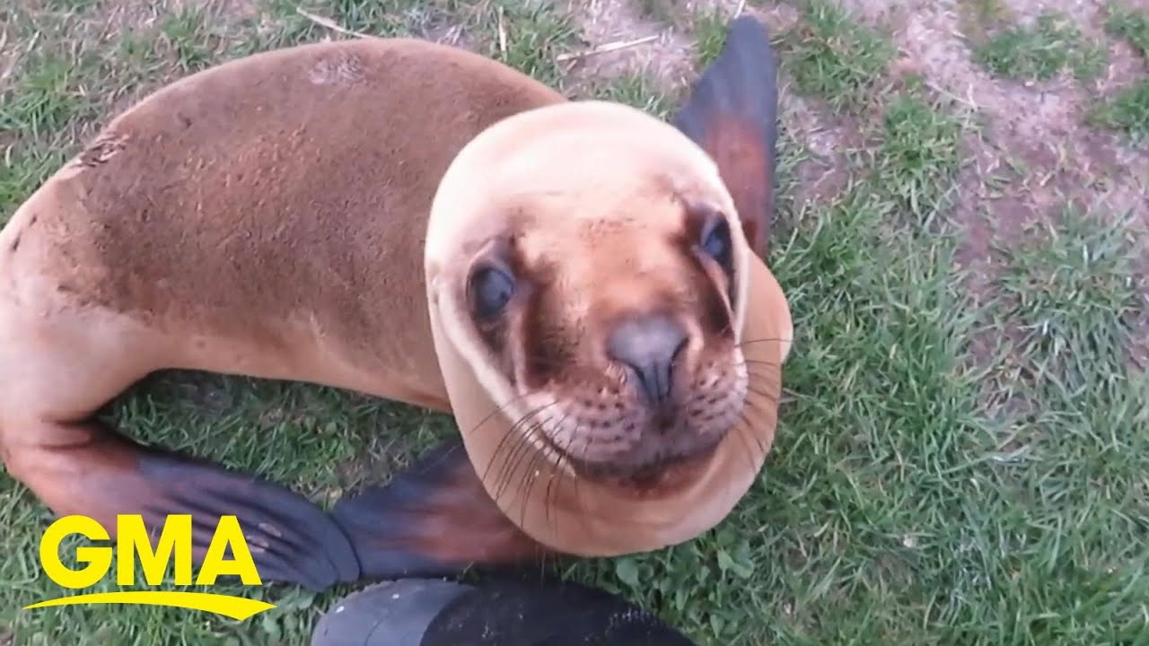 Adorable rescue sea lion is ready for their close-up l GMA Digital