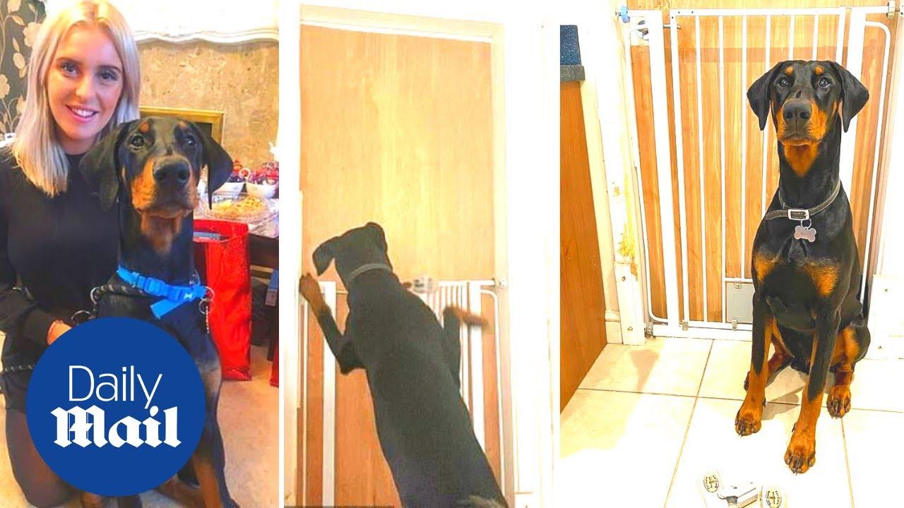 Genius Doberman dog unlocks baby gate then opens door to escape