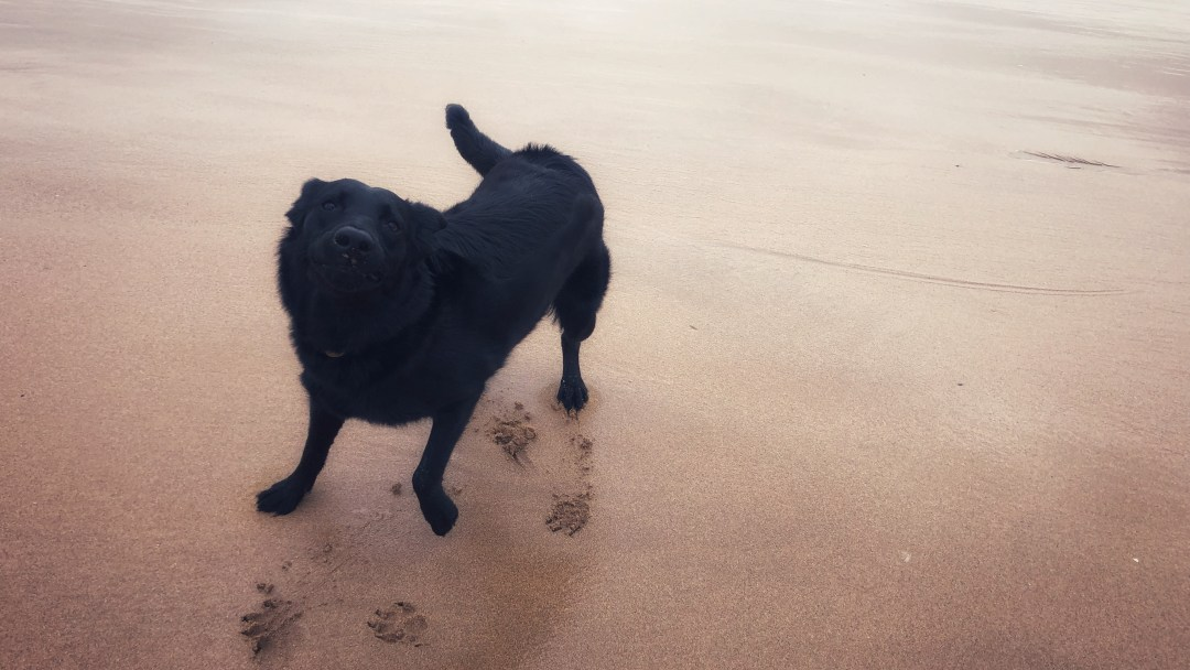 Dog wagging tail on a beach.
