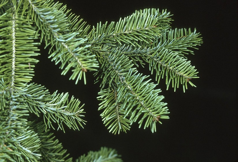 Balsam fir leaves are flat like needle with 2-3 cm long. The conical shape and wonderful aromatic needles of balsam fir make it a very popular Christmas tree choice.