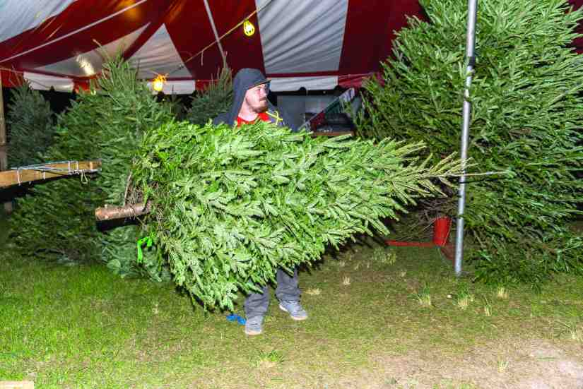 The best time to shear balsam fir trees is late July, starting when they are about 2 m high.