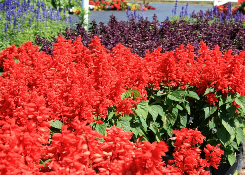 Scarlet sage typically has a bright red hue but the fact there are several colors like purple, burgundy, pink, orange, white, salmon, and bi-colors