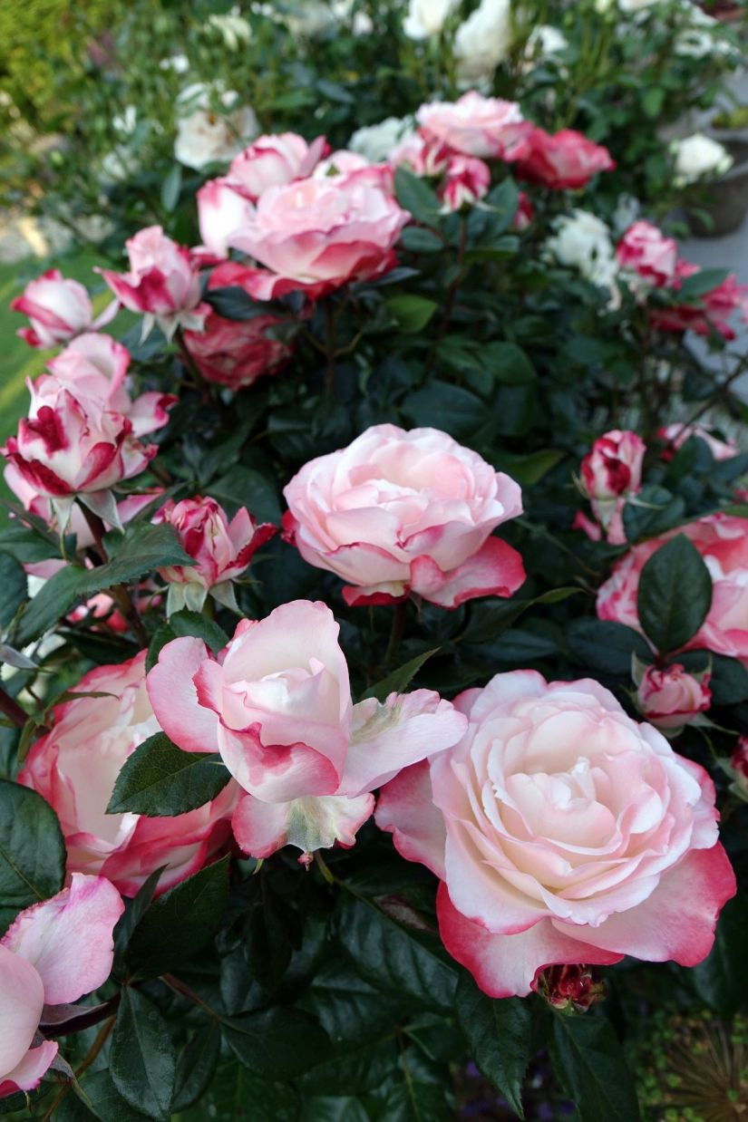 Nostalgie rose have edged white petal with a smooth cherry-red border flower and made it became one of the most beautiful roses