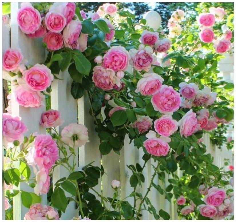 Roses had many functions besides as a symbol of affection, it can be use to adorn your fences.