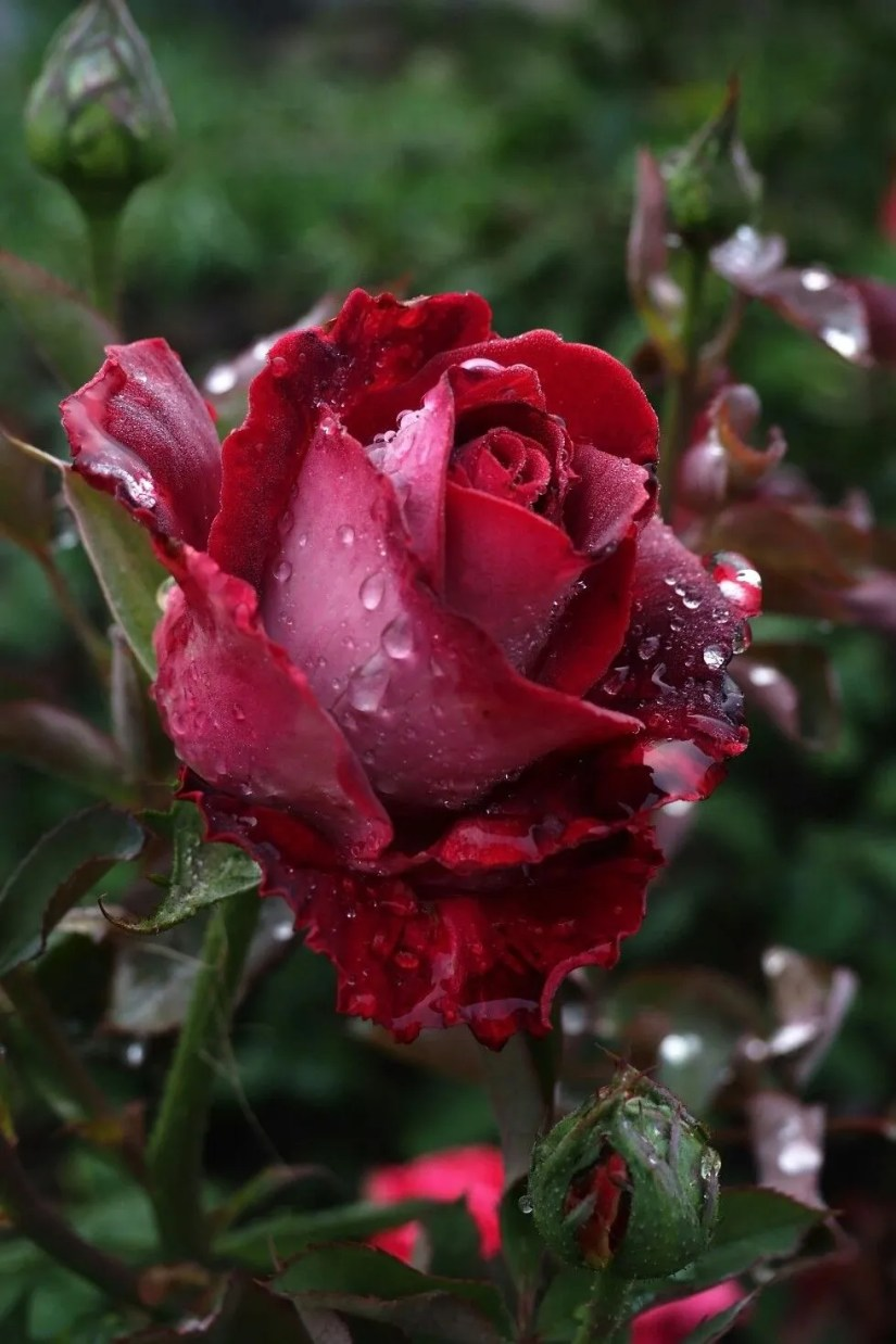 There are over three hundred roses species and tens of thousands of cultivars.