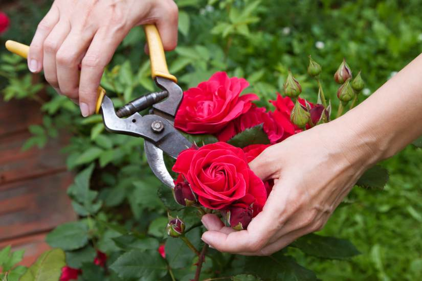 Pruning is a vital element of rose plant care and the longevity of the plant, this care allows your foliage to be healthier and produce more blossoms.