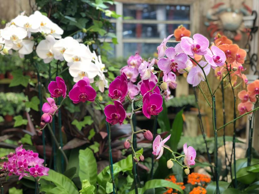 The Orchidaceae are a diverse and widespread family of flowering plants, with blooms that are often colourful and fragrant, commonly known as the orchid family.