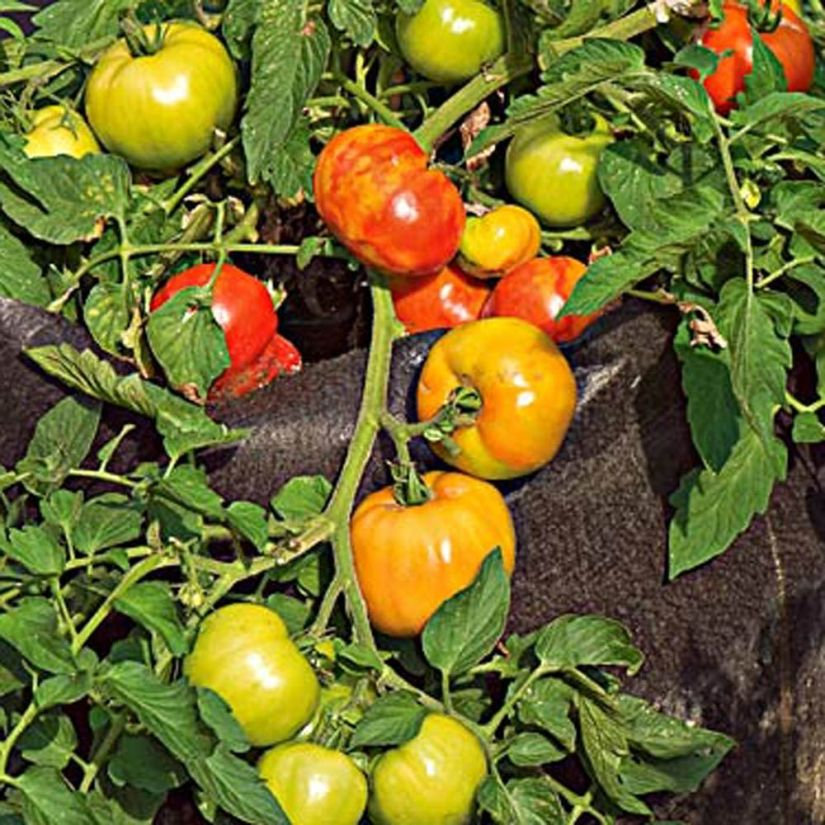 Tips for growing early girl tomato, you need to keep the soil moist, watering on the ground, not in the air, to prevent rot.