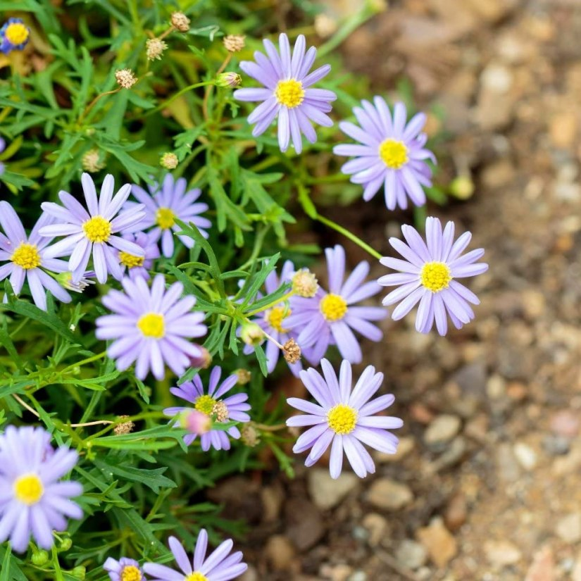 Swan river daisy with herbaceous foliage is hardy in USDA zones 9 to 11 but will grow as a cheery annual in zones 2 to 8.
