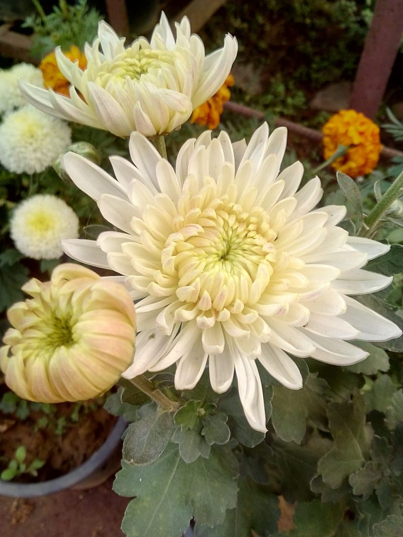 Florist's daisy is used in Chinese traditional medicine to treat anxiety, unrest, and nervous tension.