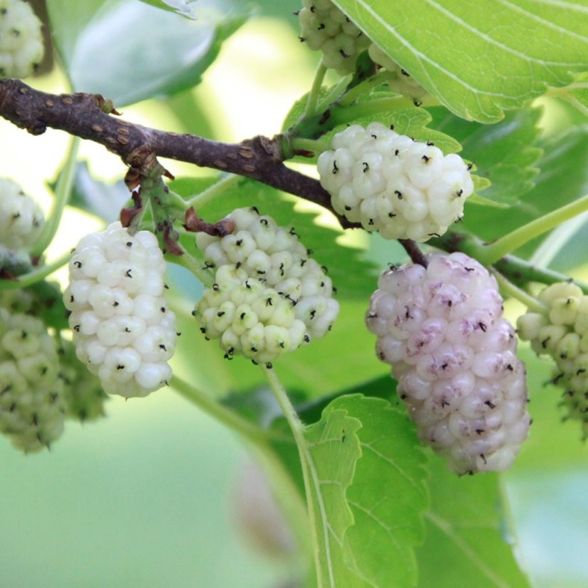 White mulberry is a fast-growing with small to medium-sized tree. It is generally a short-lived tree with a lifespan comparable to that of humans, although there are some specimens known to be over 250 years old.