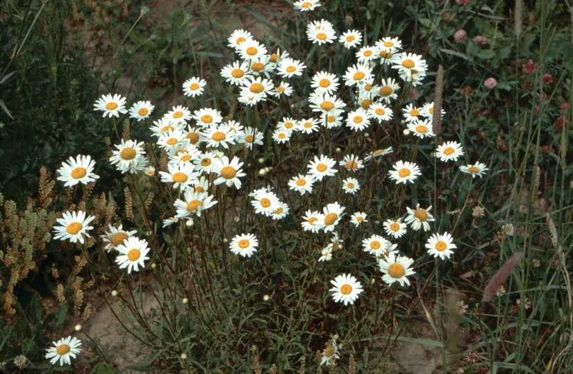 Oxeye daisy is a perennial herbaceous plant that has shallow, branched rhizomes and adventitious roots.