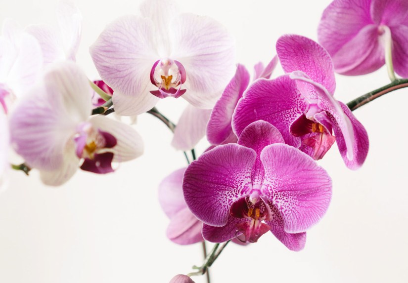 Most orchids bloom once a year, but if they are really happy, they may bloom more often. If you want an orchid that blooms during a particular season, the best bet is to purchase a plant that is in bloom at that time. When an orchid does flower it usually remains in bloom for six to ten weeks.
