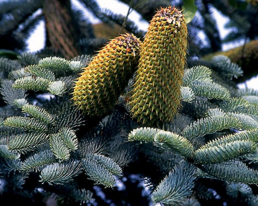 Abies procera 'Glauca' is a large sized conical conifer with short, bright blue-gray needles on both the top and underneath.