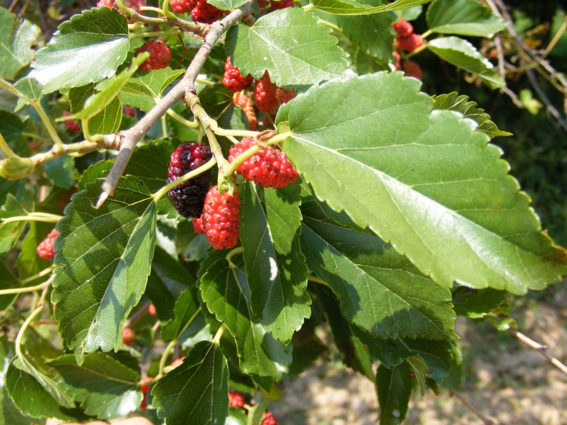 Red mulberry fruits have long been used in Appalachia for raw fruit, pies, jams, juice and wine.