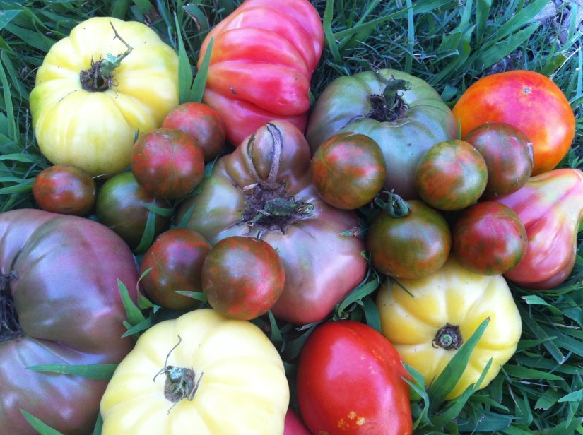 Beefmaster VFN, Beefsteak VFN, Big Beef, Brandywine, Bucking Bronco, Cherokee Purple, Marmande, Mortgage Lifter and Pink Beefsteak are some varieties of beefsteak tomato.