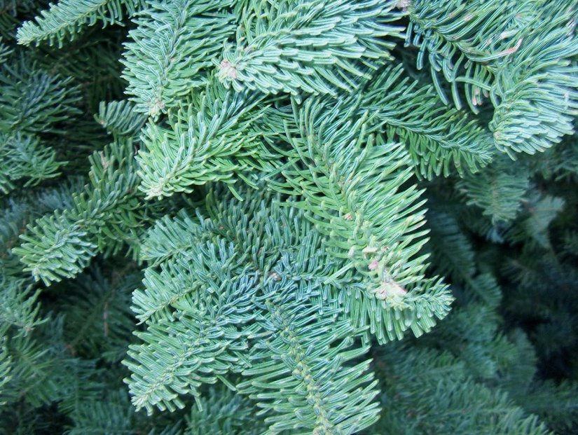 The needles are shaped like hockey sticks, and sweep away from the twig uniformly, giving them a combed appearance. The needles are blue-green with bands of white on each side.