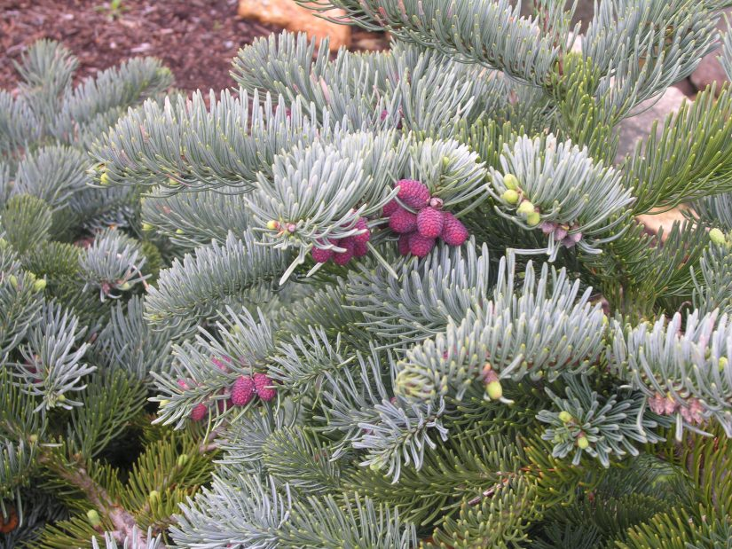 Noble fir is a native of the forests of Washington and Oregon where it grows to a great height. Just like the Douglas fir, this species was introduced by David Douglas.