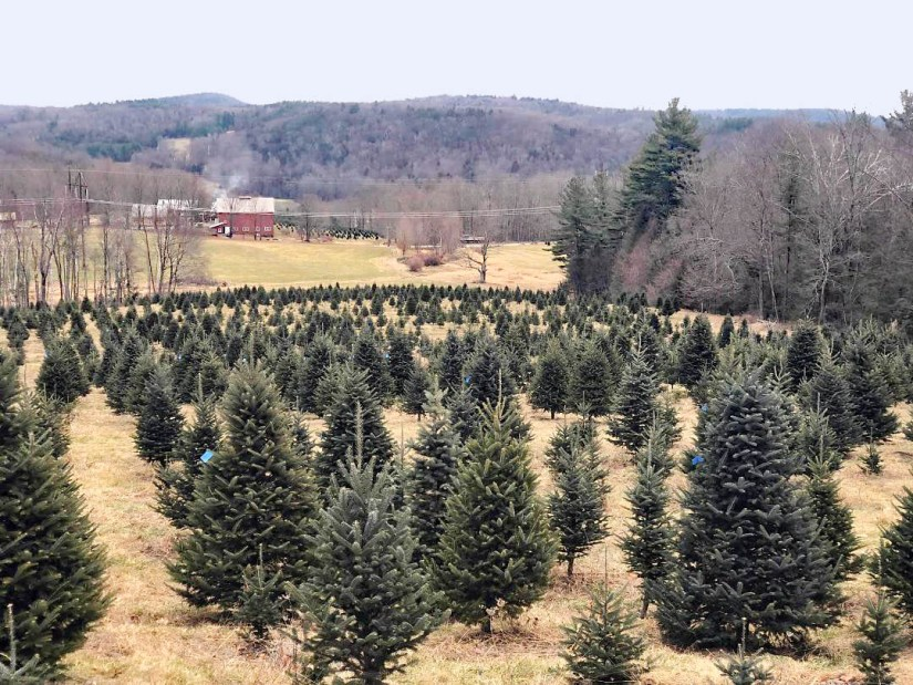 If planting concolor fir outdoors, be sure to transplant them in the Spring or the Fall to prevent desiccation.