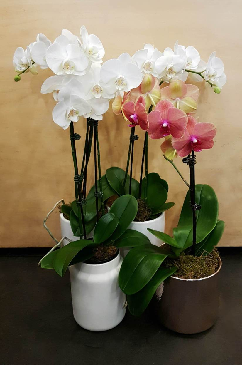 Moth orchid is the common name for the phalaenopsis orchid that's quickly become one of the most popular species from the orchidaceae family of flowering plants. Glorious colored blooms all year round and the