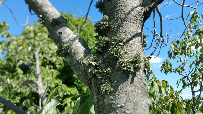 Lichen components are a fungus and a green alga with perhaps a blue cyanobacterium.
