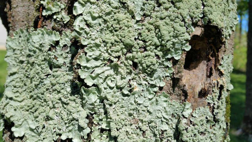 Lichens are often found on tree trunks, branches and twigs as the bark provides a stable place to reside to collect needed sunlight, rainwater and materials from the air.