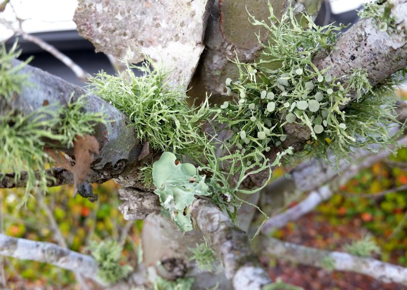 Lichen is usually the first type of organism to appear after a natural disaster, such as a fire.