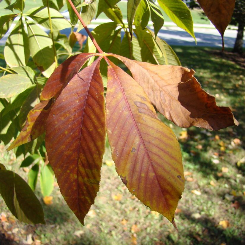 Leaf blotch, in which leaves develop discolored spots that change to brown, is serious. It is also susceptible to powdery mildew, leaf spot, wood rot, anthracnose, canker, walnut scale, comstock mealybug, white-marked tussock moth, Japanese beetle, bagworm and flat-headed borer.