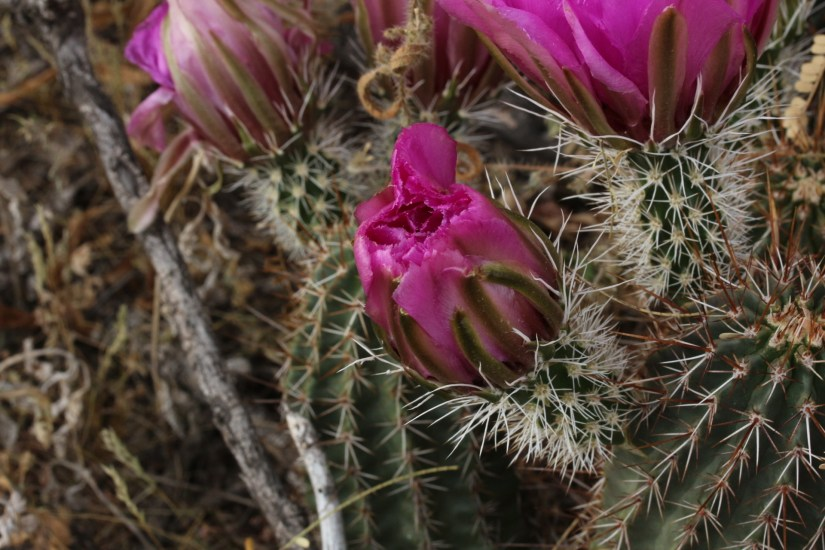 Hedgehog cactus is a low-growing succulent native to the southwestern United States.