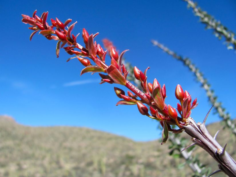 Fouquieria splendens is a plant indigenous to the Sonoran Desert and Chihuahuan Desert in the Southwestern United States.