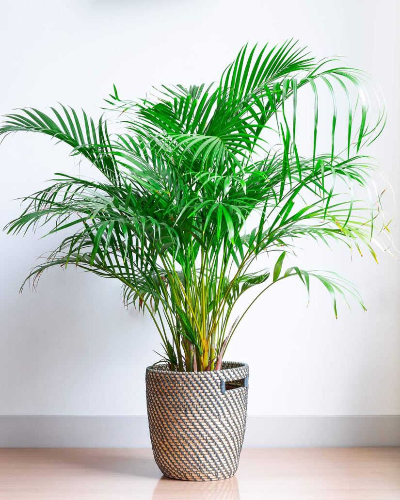 Majesty palm is an easy-care plant that adds classic good looks to indoor and outdoor spaces. A bit of a chameleon when it comes to decorating, this palm has a decidedly tropical look.