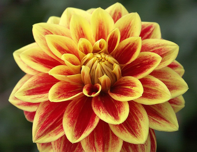 Waterlily Dahlias have fully double blooms characterized by broad and generally sparse ray florets, which are straight or slightly involute along their length giving the flower a shallow appearance.