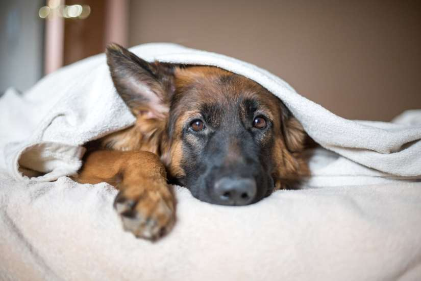 The catch is that catnip has the complete opposite effect on dogs as it does on cats. While it acts as a very effective stimulant for cats, it is actually a sedative for dogs.