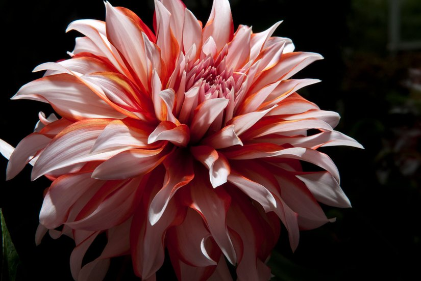Dahlia flower bloom best when they are planted in full sun and fertile, well-drained soil.