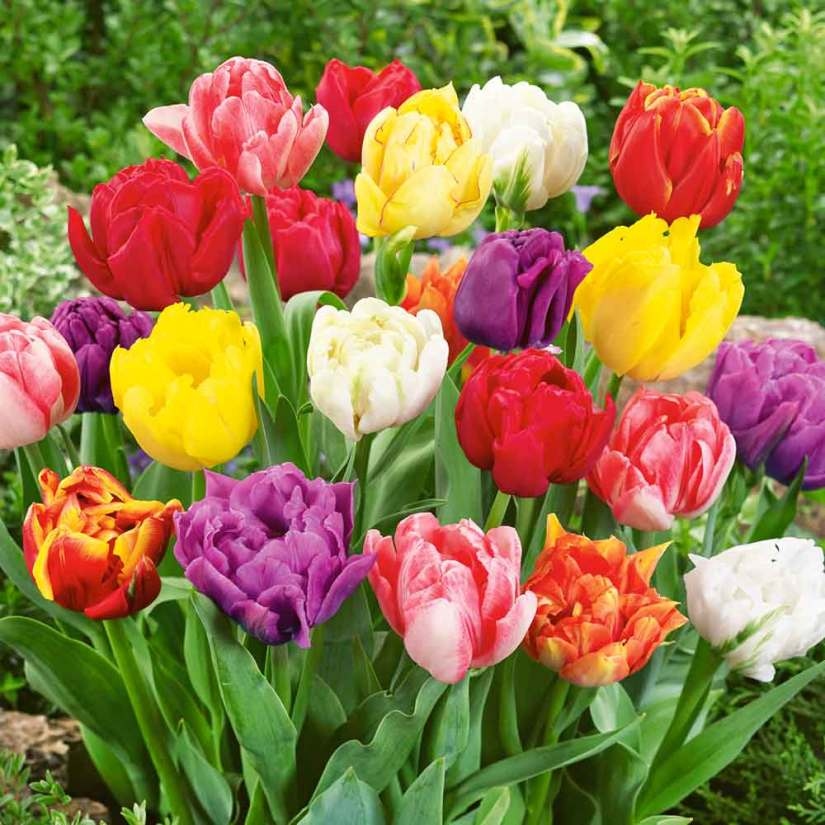Double Early Tulips are among the best bedding and forcing tulips available. They flower early so that later plantings of annuals may be started on time.