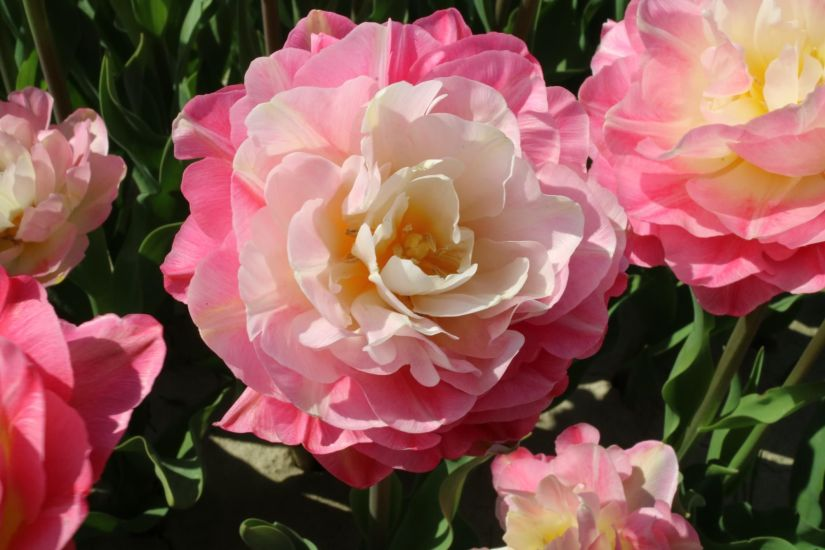 Fragrant and resembling a rose with its double set of ruffled petals,Double sugar tulips is a mesmerizing tulip with its extremely long-lived flowers in both the garden and the vase.