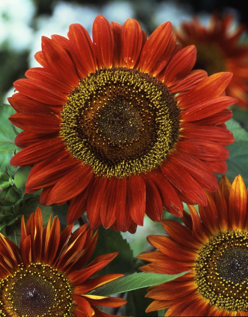 Sunflower Evening Sun is an easy to grow annual with a high percentage of red and mahogany shades, making it a uniquely different sunflower. Petals have a velvety feel, and the blooms are spectacular at about 8 inches in diameter.