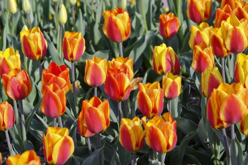 Emperor Fosteriana tulips can grow up to 20 inches (50 cm.) tall with slender cup-shaped flowers that approach 5 inches (12 cm.) wide. They come in tones of yellow, white and red, with several hues of the latter.