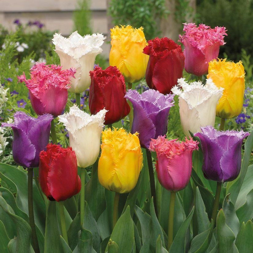 Fringed Tulips have flower petals that are edged with finely cut fringes that remind us of fine quartz crystals or frost on windowpanes.
