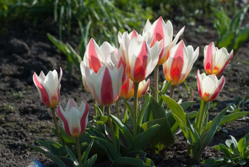 Greigii tulips produce single bowl-shaped flowers in early - mid spring. The principal colors are red, yellow and white. Combined with their stunning spotted and striped leaves, these flower colors create an unforgettable visual impact.