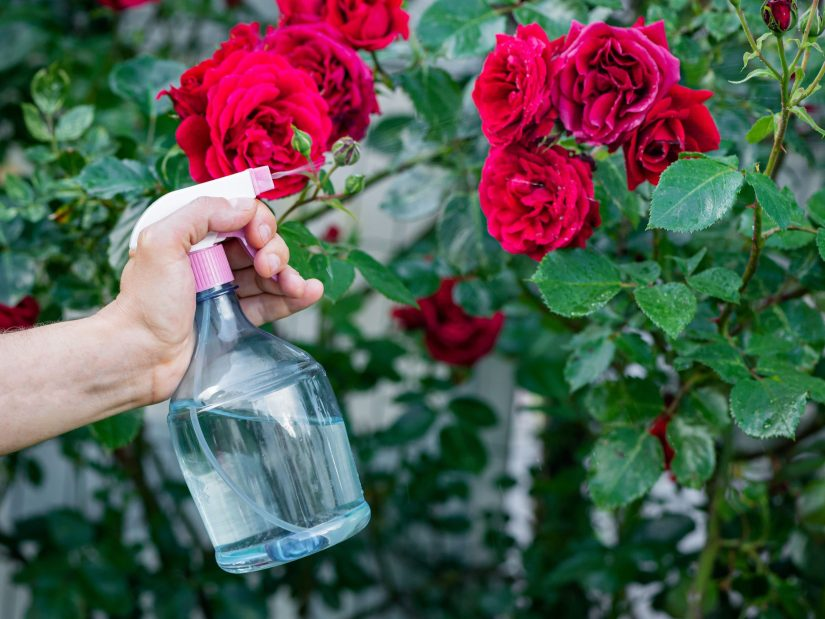 Horticultural oils are most effective against many soft bodied pests including aphids, adelgids, spider mites, scale insects, greenhouse whiteflies, mealybugs, plant bugs, lace bugs and some caterpillars.