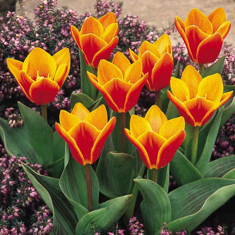 Kaufmanniana tulips are showy, distinctive tulips with short stems and huge blooms. Kaufman tulips flowers return every year and look stunning in naturalized settings with crocus and daffodils.