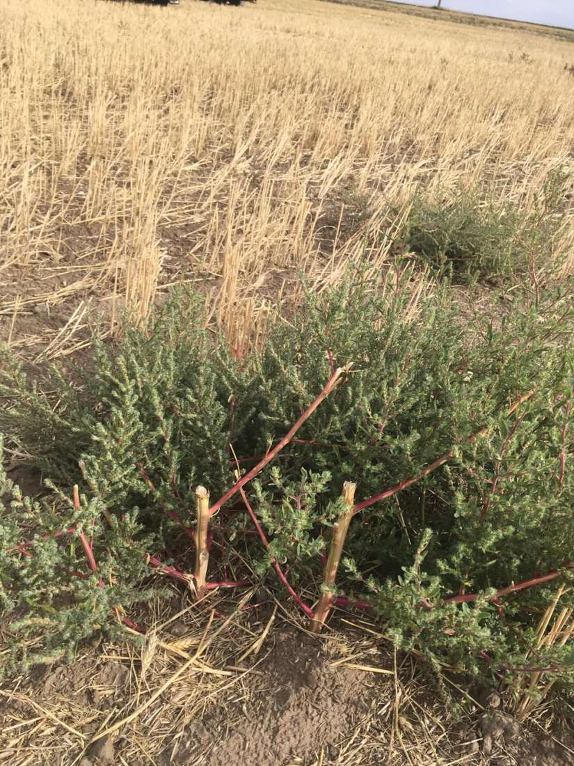 Kochia provides cover and the seeds are used as food by both songbirds and upland game birds. The large quantity of high protein seed makes kochia valuable for poultry feed.
