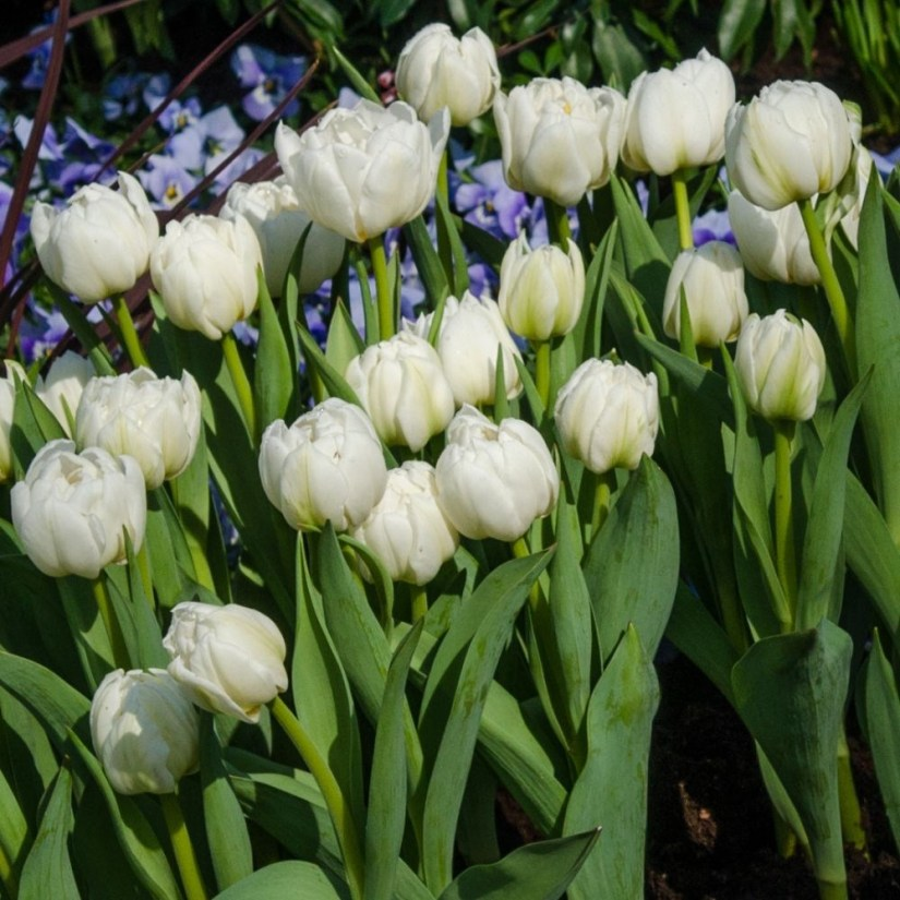Tulip Mondial is a single, early-mid spring blooming tulip bulb that has a pristine white color with green highlights.