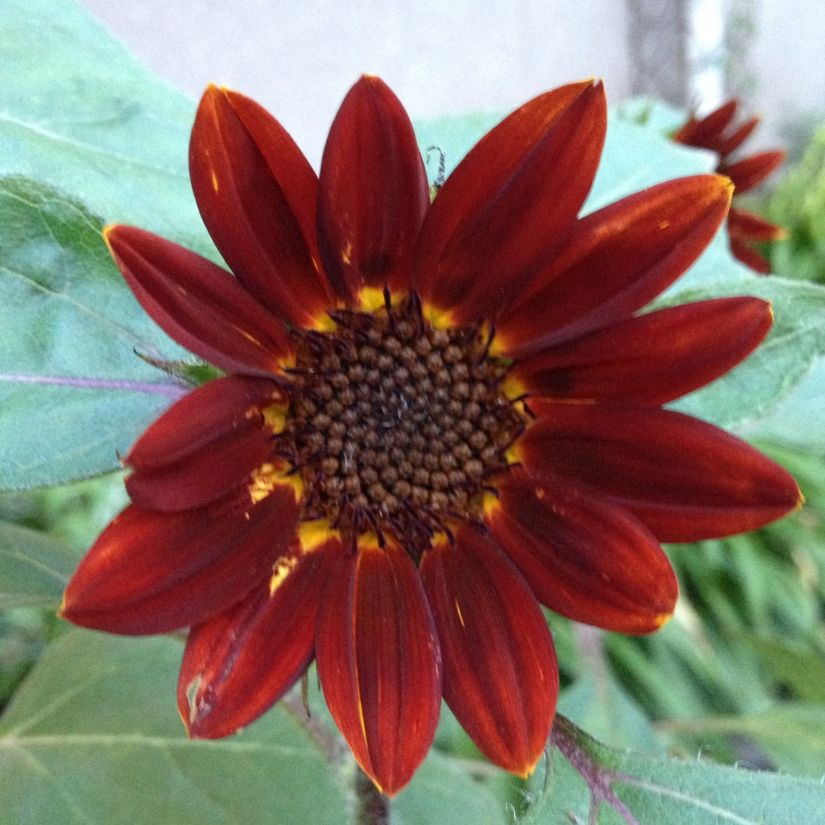Prado Red produces 15-20 beautiful deep red flowers per plant. It grows to 1.6m tall. Slightly more sensitive to cold temperatures than other varieties, so wait until all danger of frost is past to plant.