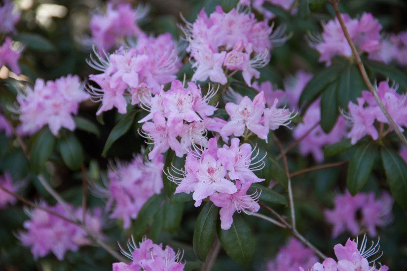 Rhododendron davidsonianum, the concave-leaf rhododendron, is a species of flowering plant in the heath family Ericaceae that is native to the forests of Sichuan, China, where it lives at altitudes of 1,500–2,800 m.