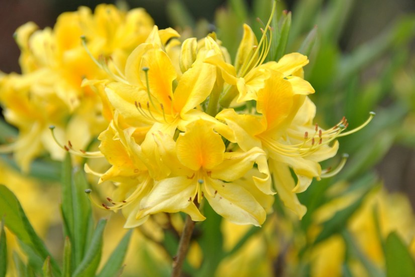 Rhododendron luteum, commonly known as pontic azalea or honeysuckle azalea, is an upright spreading deciduous azalea that typically matures to 4-5' tall over the first 10 years, but may occasionally rise over time to as much as 9-12' tall.