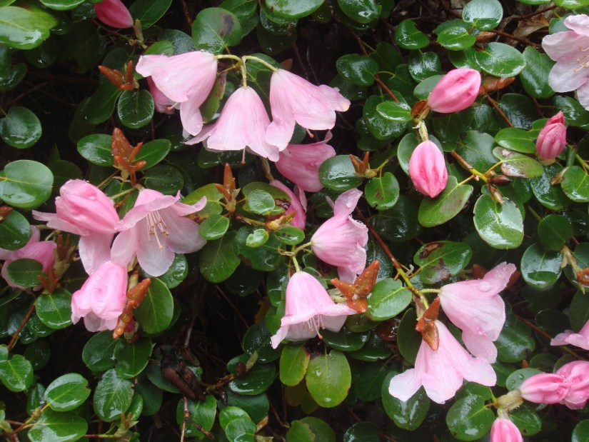 Rhododendron williamsianum is a compact, spreading small evergreen shrub, 1-1.5m tall, with neat rounded or heart-shaped leaves, bronze when young and glaucous beneath. Bell-shaped, soft rose-pink flowers, 5cm wide, are borne in small trusses in mid spring.