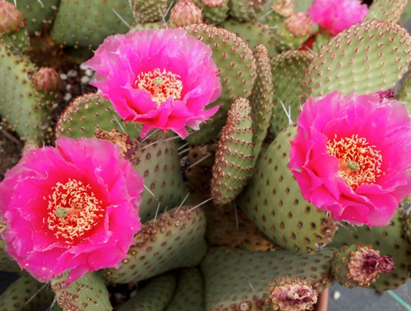 Most cacti species flower in spring when the weather conditions are near perfect. The greatest diversity of spring-flowering cacti species can be seen in April.