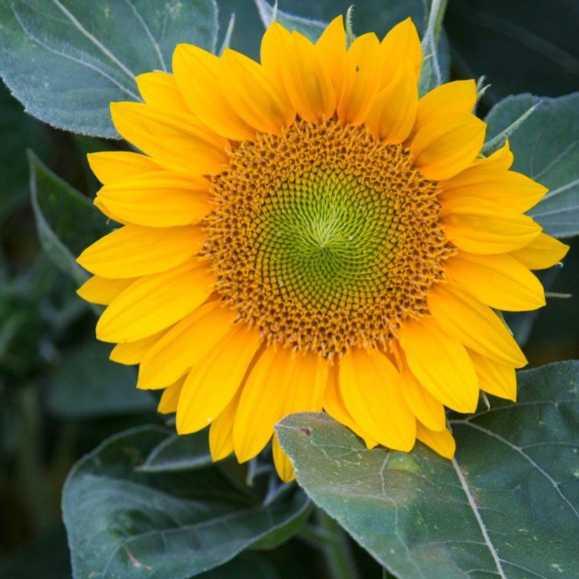 Sunrich Gold sunflower seeds produce exceptionally uniform flowers with densely packed golden petals surrounding a green disk.